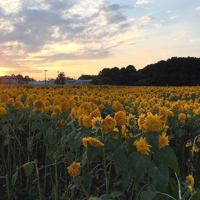 筑西市のひまわり畑夕方の景色とともに。#筑西市 #ひまわり畑 #ドライブ #夕日 (Instagram)