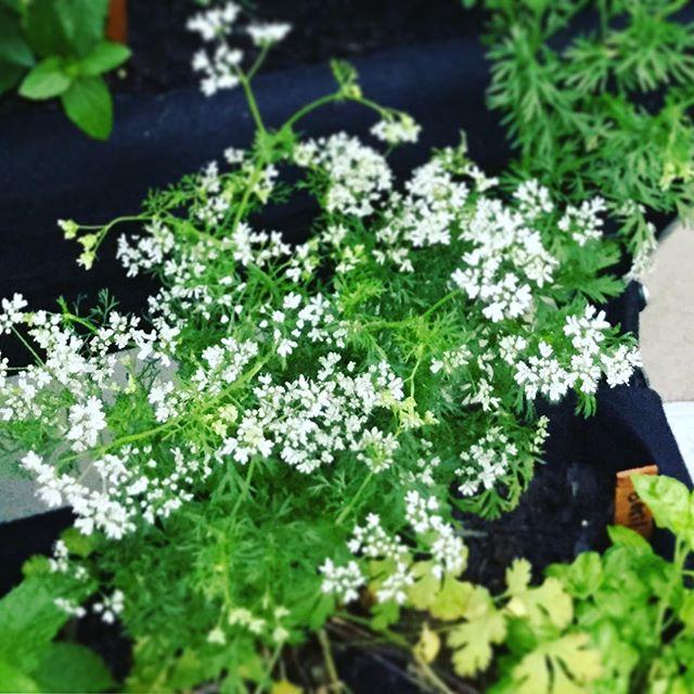 コリアンダーの花がカワユイ来週、パクチーのスープ出来そうな勢いですな。#パクチー #スープ #コリアンダー #ハーブカフェ (Instagram)