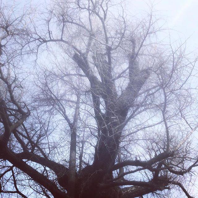 樹齢800年の冬のイチョウの木いつも見守ってくれてありがとう。#イチョウの木 #樹齢800年 (Instagram)
