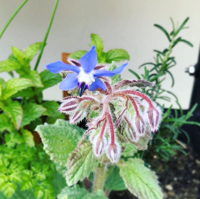大好きなボリジ、咲き始めました。可愛いこの花は食べられます。#ボリジ #食べられる花 #ハーブ #herbs #ガーデニング (Instagram)