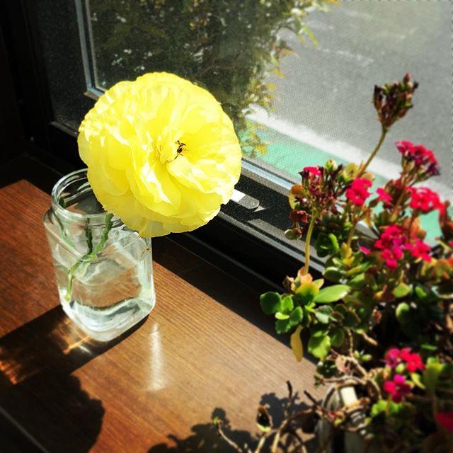 月曜日、お友だちからいただいた切り花、2時間の道中でも、電車の中で揉まれても、見事に復活して咲きました。花の力はすごい。 人を魅了する花の生きる姿に、女としても人としても見習いたい。#花 #魅力的な女性になりたい #生きる力 #咲いたよ #復活 (Instagram)