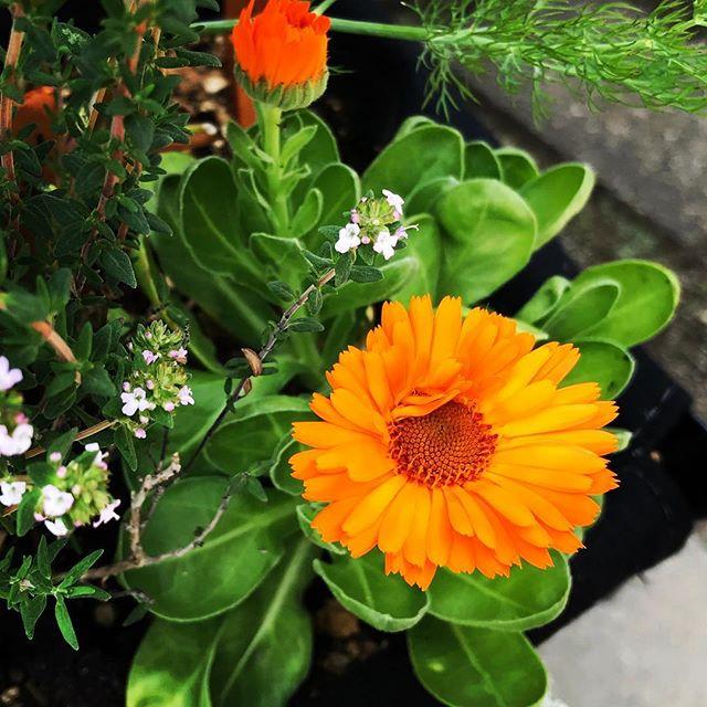 カレンデュラ、咲き始めた。#マリーゴールド #カレンデュラ #ハーブ #女性のための #ハーブティー専門店 #オレンジ (Instagram)