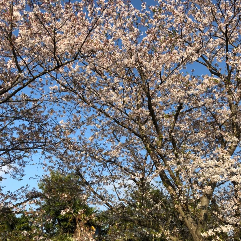 目の保養に。どうぞ。#桜 #田舎の風景 #息抜き #空気が美味しい #ひんやり (Instagram)