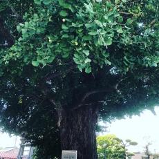 樹齢800年の銀杏の木